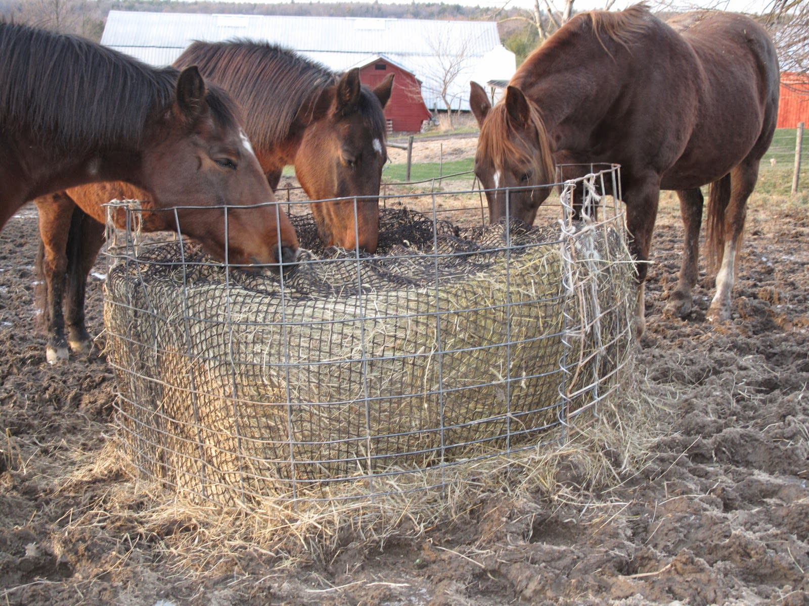 horses enjoying their hay - slow feeding