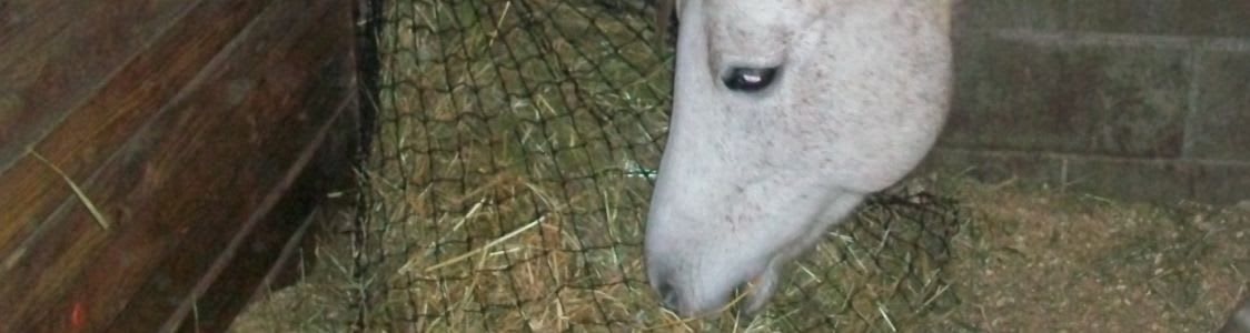 white horse nibbling hay from a slow feed stall net